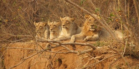 lions on our safari in greater kruger national park